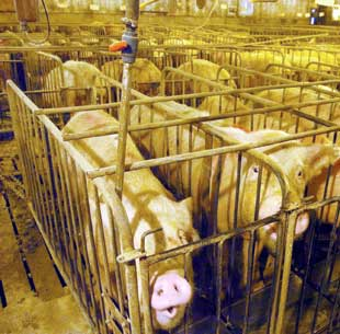Help with Ethics of factory farming essay?